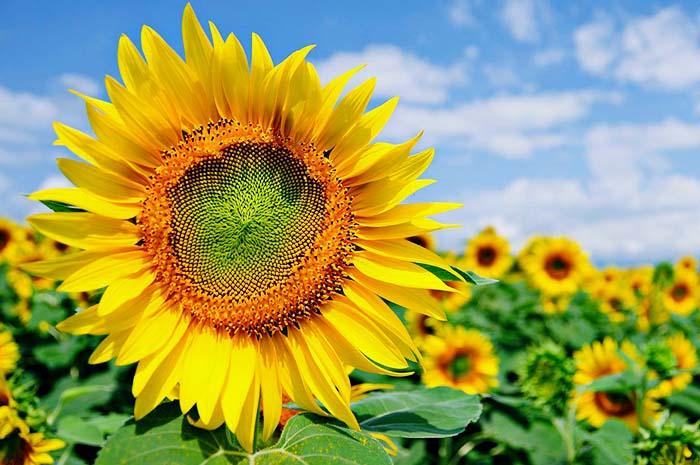 21+ Bunga Matahari