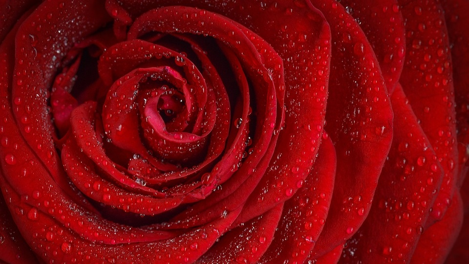 27+ Bunga Mawar