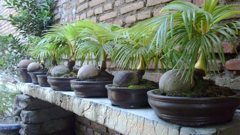 Pohon Bonsai Kelapa Berbuah Anehkan…..