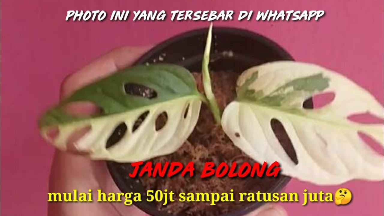 38 Bunga Janda Bolong Warna Dan Harga Termahal Life Style News